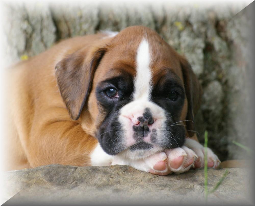 Préférence Accueil - Elevage le mas de loriol - eleveur de chiens Boxer VS96
