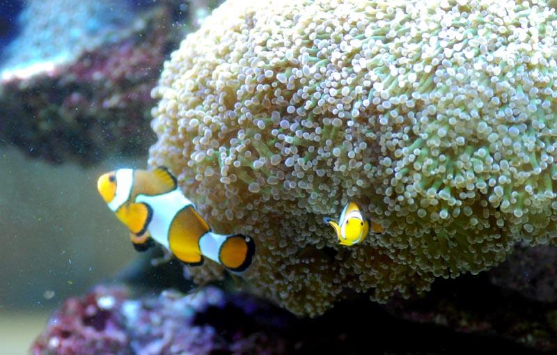 Corail de substitution poissons clown for Bac a poisson 1000l