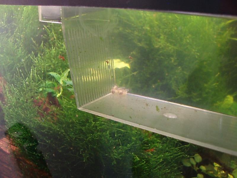 Sala Parto Guppy : Pulire sala parto acquario: aspirarifiuti elettrico e manuale per