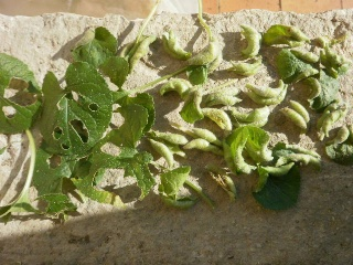 Le micro jardin d 39 agatheb2k au jardin forum de jardinage for Ver gris noctuelle