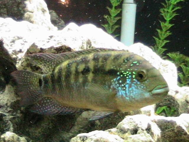 Gallery for jack dempsey fish male vs female for What is a jack fish