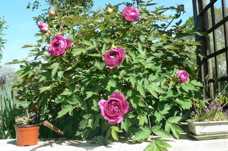 Planter une pivoine en pot 28 images pivoine planter for Tout sur le jardinage