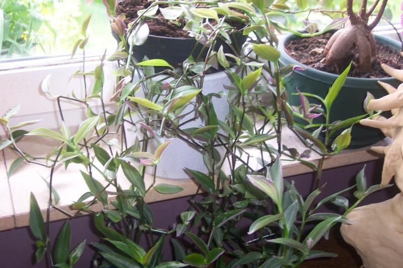 Plante pendante ma callisia se d color for Plante pendante