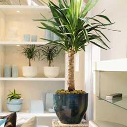 Plante d 39 int rieur le yucca for Plantes exotiques d interieur
