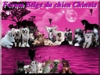 Forum belge du chien chinois