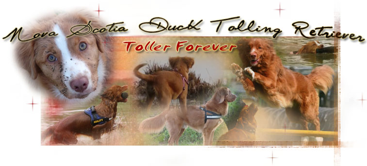 Forum du Nova Scotia Duck Tolling Retriever