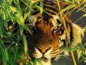 http://i61.servimg.com/u/f61/14/11/18/97/th/tiger-10.jpg