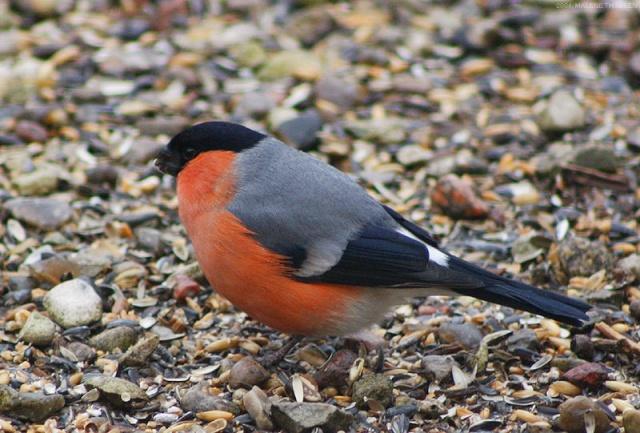 Reconnaitre les oiseaux de nos jardins pictures for Oiseaux de nos jardins