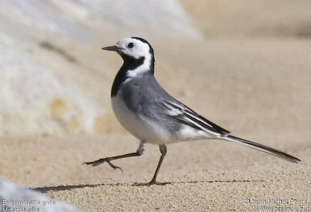 Reconnaitre les oiseaux de nos jardins for Oiseau gris et blanc