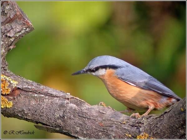 reconnaitre les oiseaux de nos jardins