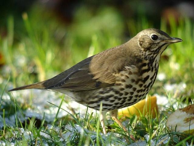 Reconnaitre les oiseaux de nos jardins page 1 for Oiseaux de nos jardins belgique