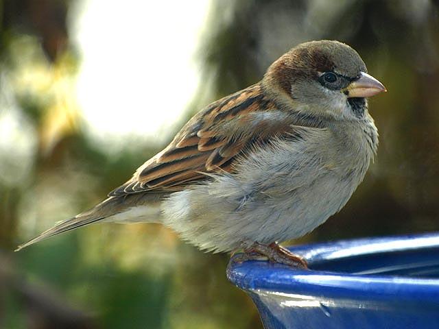 Reconnaitre les oiseaux de nos jardins for Oiseau commun