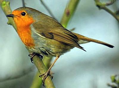 oiseaux reconnaitre les oiseaux de nos jardins. Black Bedroom Furniture Sets. Home Design Ideas