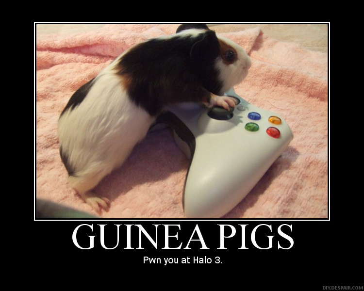how to tell boy or girl guinea pig