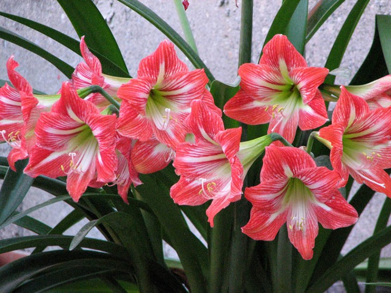 Azucenas for Azucena plantas jardin