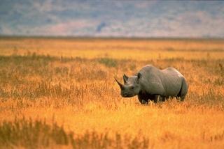 zoologie - rhinocéros noir - blanc - mammifère - pachyderme braconnier - braconnage - Afrique du sud - Iucn - forum - population en déclin