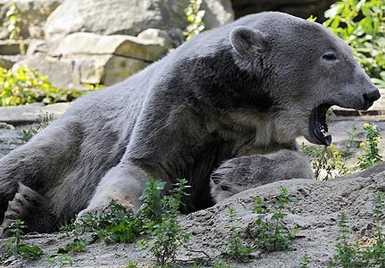 Rencontre entre un ours polaire et un grizzly