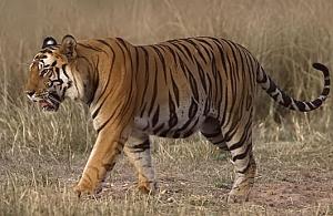 Cryptozoologie zoologie mammifère forum félin tigre Poncin France liberté gendarmerie lynx cirque particulier
