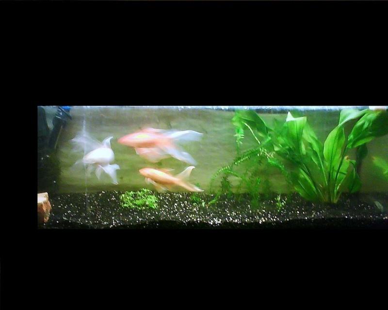 aquarium juwel 120 litres poissons rouges photos page 10 page 5. Black Bedroom Furniture Sets. Home Design Ideas