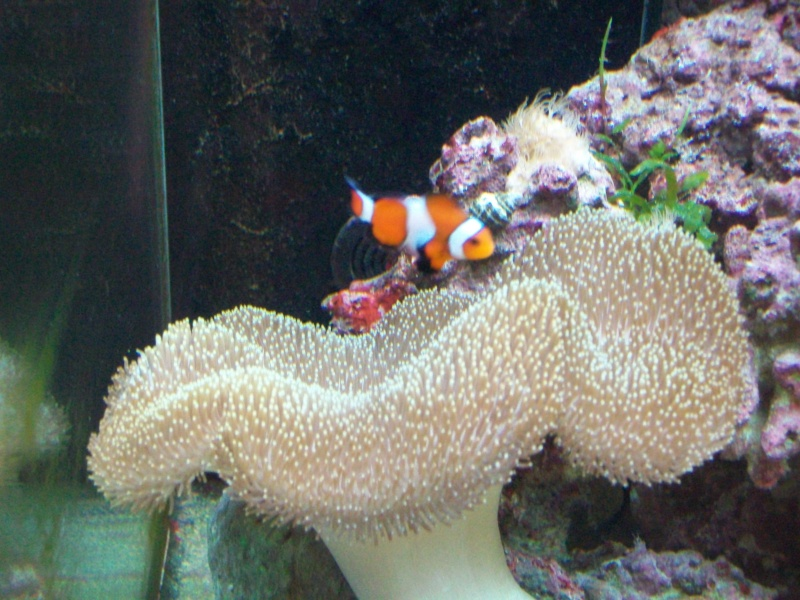 Sarcophyton et poisson clown le 13 juin 2010 l 39 aquarium for Poisson clown achat