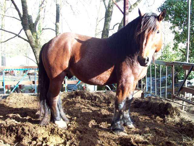 cheval de trait gard