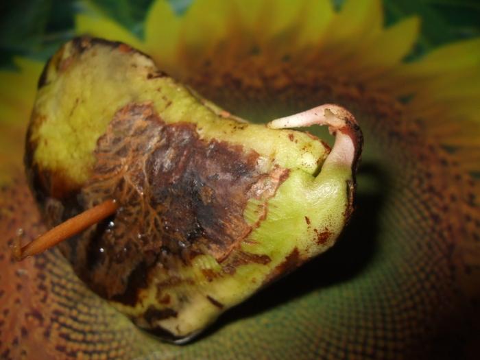 La culture du manguier germination for Conseil sur les plantes